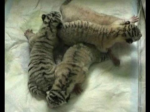 http://twentytwowords.com/2012/07/01/4-cute-and-rare-white-tiger-cubs-born-in-a-ukrainian-zoo/