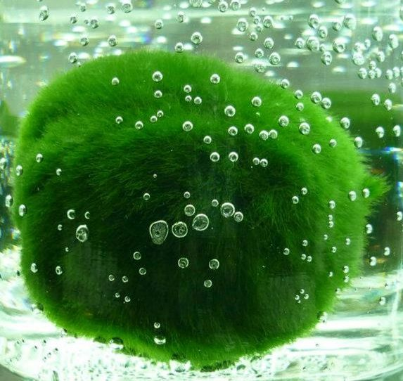 How to care for Marimo Balls                                                                                                                                                                                 More