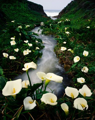 Calla Lillies, Big Sur
