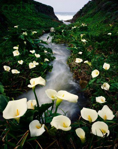 Calla Lillies, Big Sur