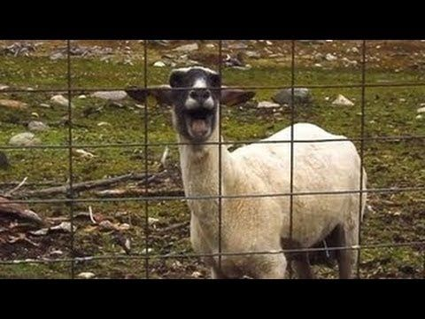 I'm obsessed with goat songs! Lol: Best Goat Edition Compilation - Top 10 - Screaming Goat Songs