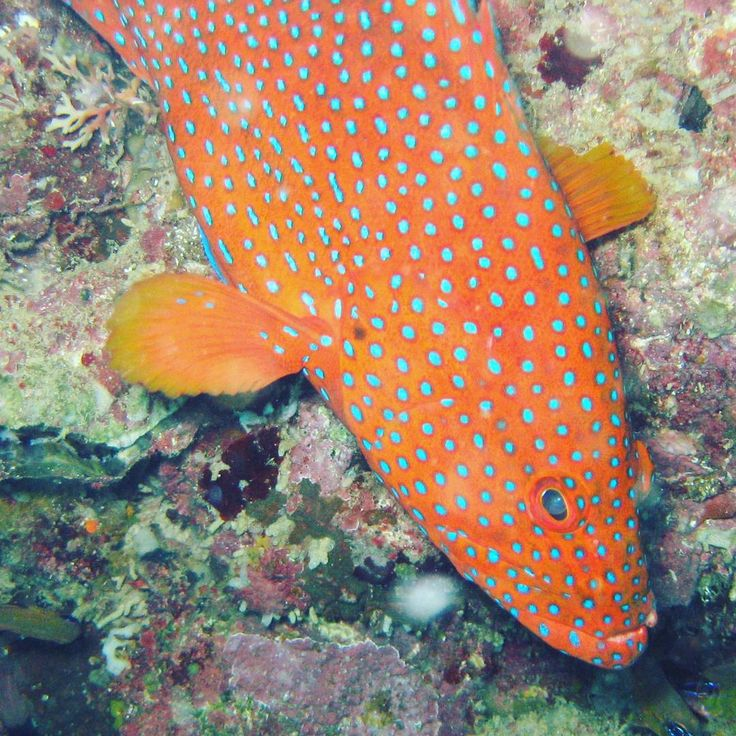 Coral trout #spotty #fish #ocean