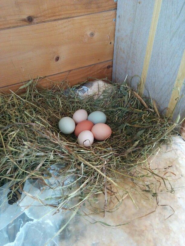 Fresh backyard chicken eggs
