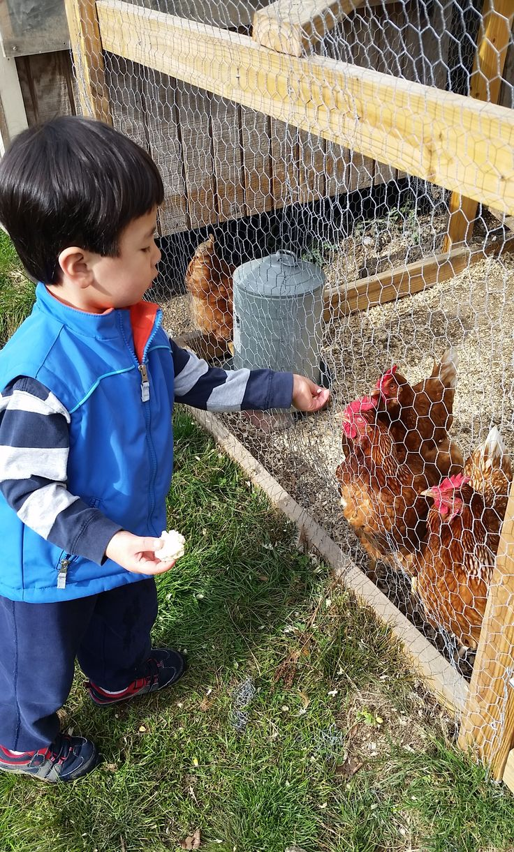 The chickens love visitors and the children are fascinated by them them and their coop!