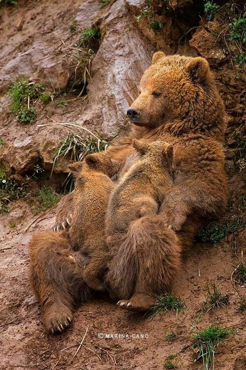 Mama bear laid back with 2 cubs (Grizzly Bear?)
