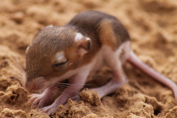 Ord S Kangaroo Rat Baby Animals Of The Desert