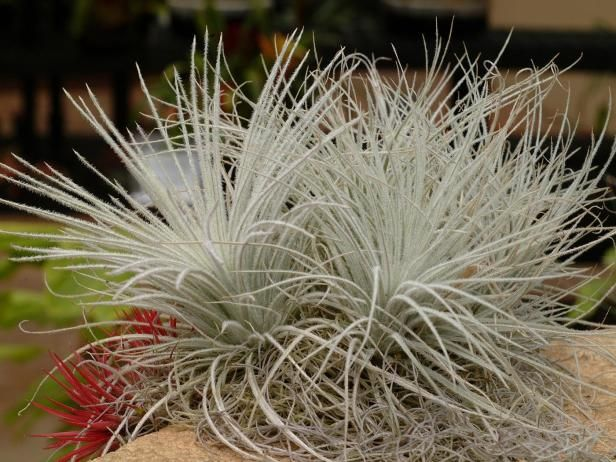 Get tips for growing easy-care Tillandsia, more commonly known as air plants, in your home.