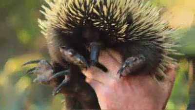 In Australia we have a unique range of native animals. Meet the short beaked echidna, one of the three monotreme species that are found in the world. Monotremes are egg-laying mammals.