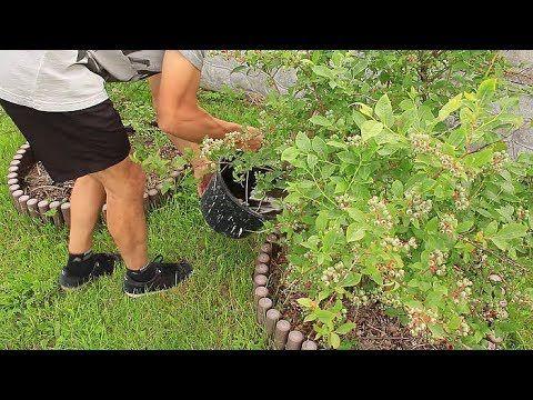 Borówka amerykańska (sadzenie i nawożenie) - YouTube