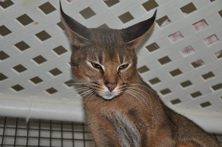 F1 Caracat; 50% caracal, 50% abyssinian. I NEED one ...