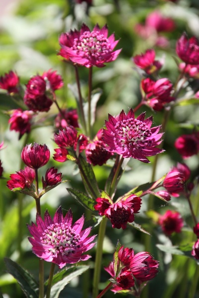 De Tuinen van Appeltern - Astrantia major 'Abbey Road' - Zeeuws knoopje