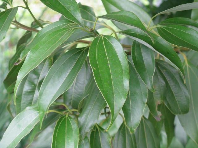 8月27日の誕生日の木はクスノキ科クスノキ属の「ニッケイ(肉桂)」です。原産地は中国南部からベトナムにかけて。別名「シナモン」「ニッキ」と呼ばれることもあります。古来日本では、肉桂・木犀・月桂樹など、良い香りのする木を「桂木」という総称で呼んでいたため、ニッケイの日本への渡来は、はっきりしません。栽培が行われるようになったのは、江戸時代の享保年間(1716~36)に中国から輸入されてからと伝えられています。ニッケイは常緑の高木で高さ10~15メートルになり、幹は直立してよく分枝し、枝葉には芳香があります。庭木、公園樹としての利用の他に、生薬や香辛料としても利用されています。「肉桂」という名前の由来は、中国では香木を「桂」と呼び、ニッケイの樹皮が厚いことから、肉厚の桂⇒肉桂(ニッケイ)となったようです。