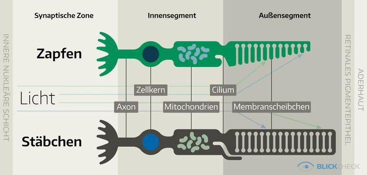 Photorezeptoren in der Netzhaut des menschlichen Auges.