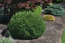 "Picea abies ""Pumila"" Dwarf Norway Spruce evergreen conifer very little maintenance. Zones 2-9. Full Sun."