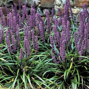 1000 images about flower bed ideas on pinterest sun for Ornamental grass with purple flowers