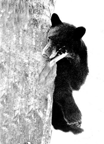 Black Bear in Cottonwood - Kootenay Reflections - Photographer Jim Lawrence