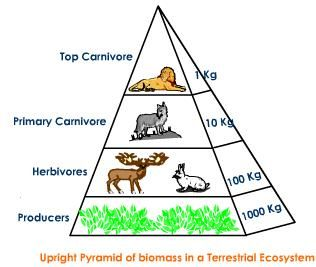 I NEED RESEARCH PAPER ON ECOLOGICAL PYRAMIDS?