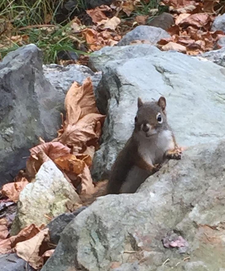 I was out hiking with a friend when a red squirrel accosted us on the trail, clearly wanting something to eat. It sat up on a rock, its tail quivering, it