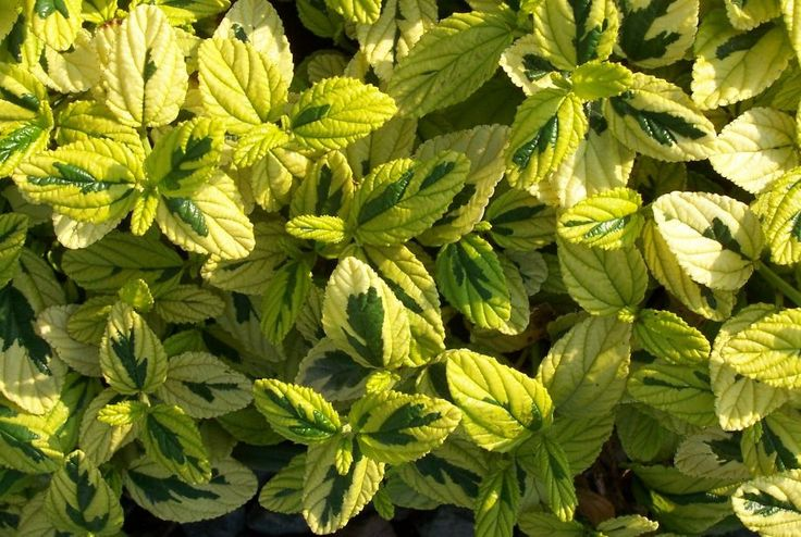 Tractor Seat Fuzzy Variegated Plants : Best images about garden plan frontyard on pinterest