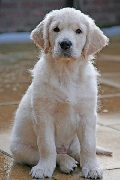 Who else loves this white golden retriever. Dog Puppy Pups Puppies I want one !