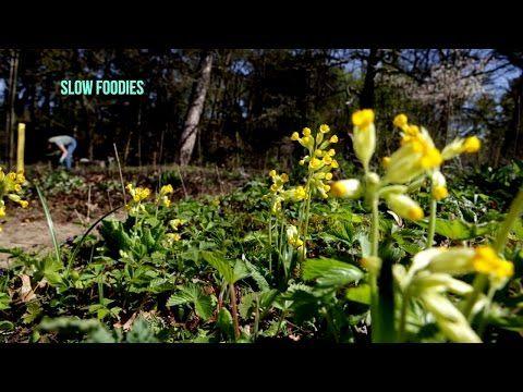 Video over de eetbare planten en vergeten groenten in de Tuinen van MergenMetz. Een recept met 'onkruid' zevenblad: http://goo.gl/pV0RVP