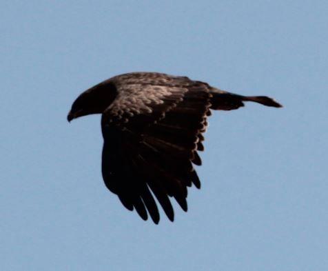 Bruinarend (Wahlberg's Eagle) Mabalingwe, Bela Bela, South Africa