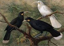 Image result for white huia