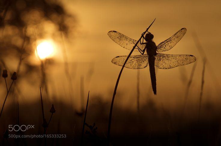 Black-tailed Skimmer at sunrise by ErikVeldkamp