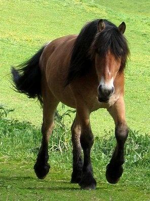 North swedish horse