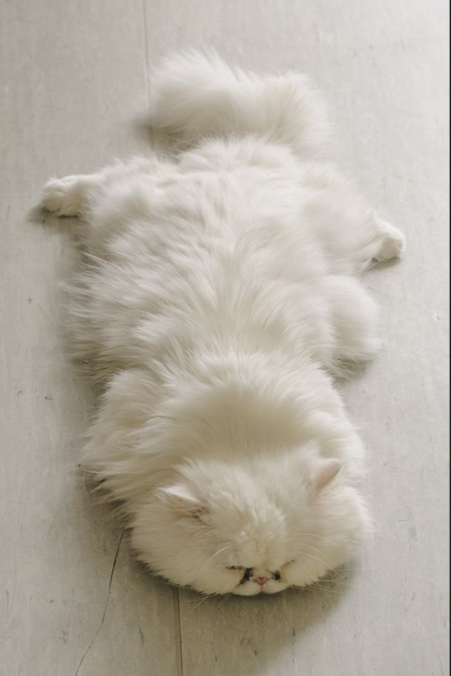 Why are persian cats so cute