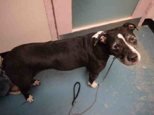 OBSIDIAN – A1084853 FEMALE, BLACK / WHITE, PIT BULL / LABRADOR RETR, 3 yrs STRAY – STRAY WAIT, NO HOLD Reason STRAY Intake condition EXAM REQ Intake Date 08/09/2016, From NY 10468, DueOut Date08/12/2016,