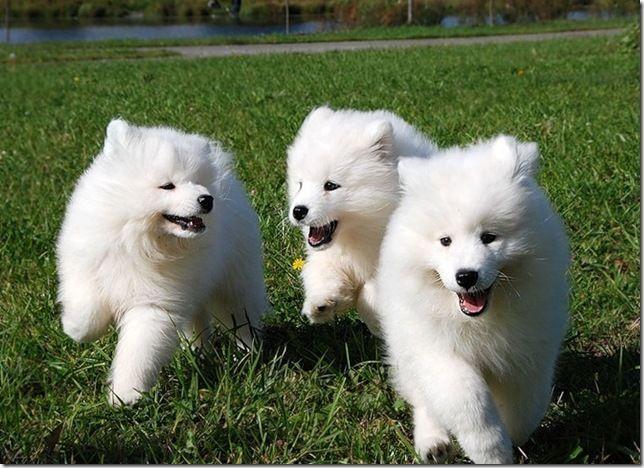 samoyed dog photo | The white Samoyed dog which resembles both a white bear and a wolf ...