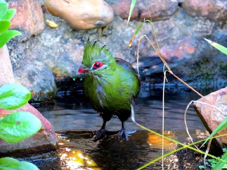 Wild bird bathing, George , South Africa