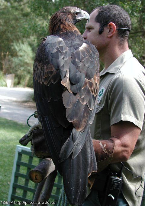 Australian Wedge Tailed Eagle (gives you some idea on how big these birds are!)