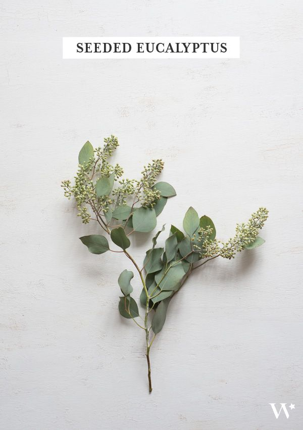 Seeded Eucalyptus | www.pixshark.com - Images Galleries ...