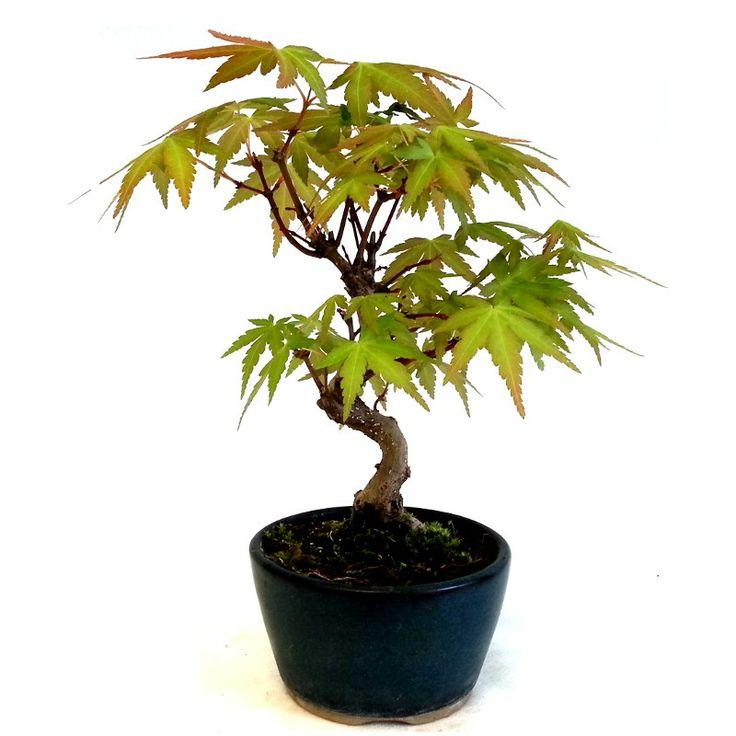 Acero palmato giapponese
