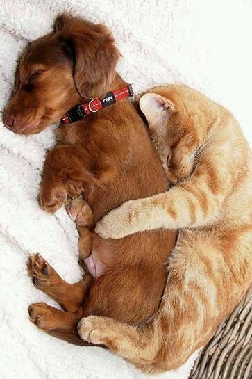 Cuddling Cat and Dog cute animals cat cats adorable dog puppy animal kittens pets kitten funny animals