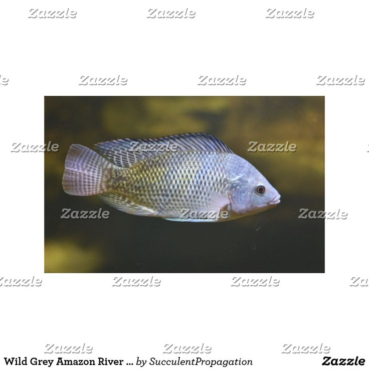 Wild Grey Amazon River Fish Swiming In An Aquarium  Wrapped Canvas Art For Your Home, Office, Gifts and Wall Decor.