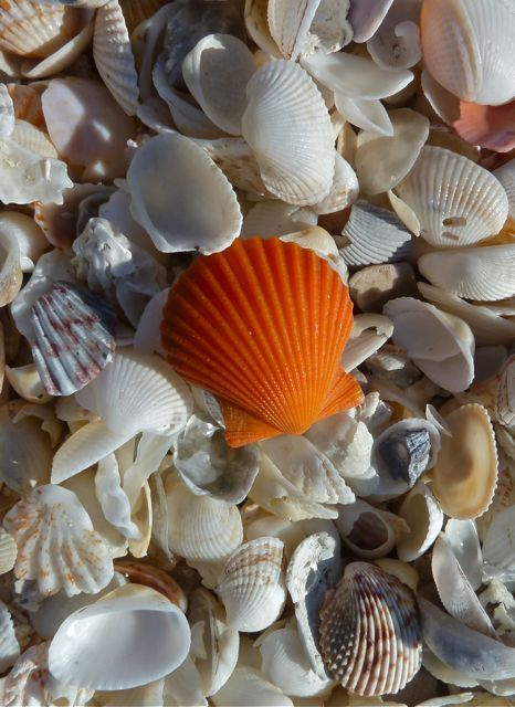 Look how pretty this scallop is!  Sanible Island