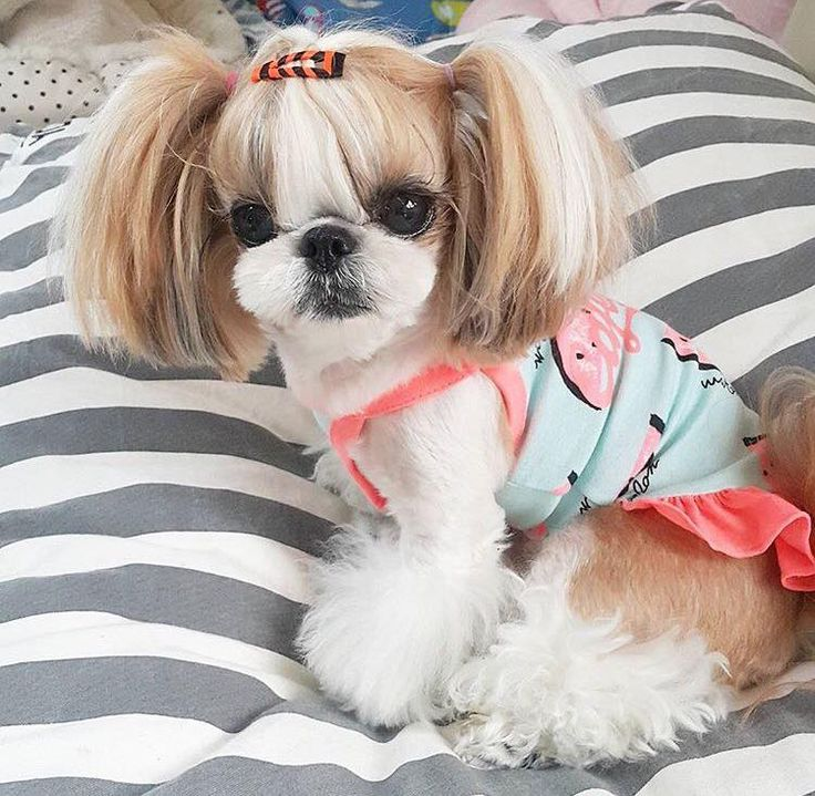 Adorable Shih Tzu. It's better than dressing up my Barbie dolls when I was young. How adorable would it be if she had a Ken Shih Tzu with her.