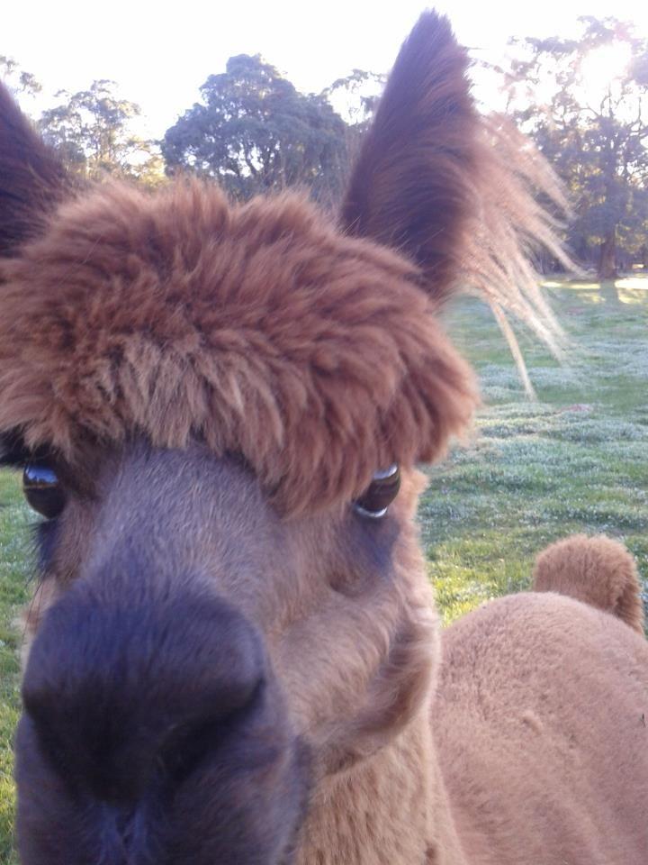 'Caramel' the Alpaca.