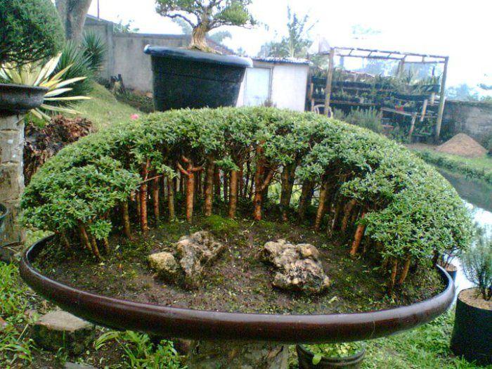 die besten 25 bonsai wald ideen auf pinterest indoor bonsai baum wacholder bonsai und. Black Bedroom Furniture Sets. Home Design Ideas
