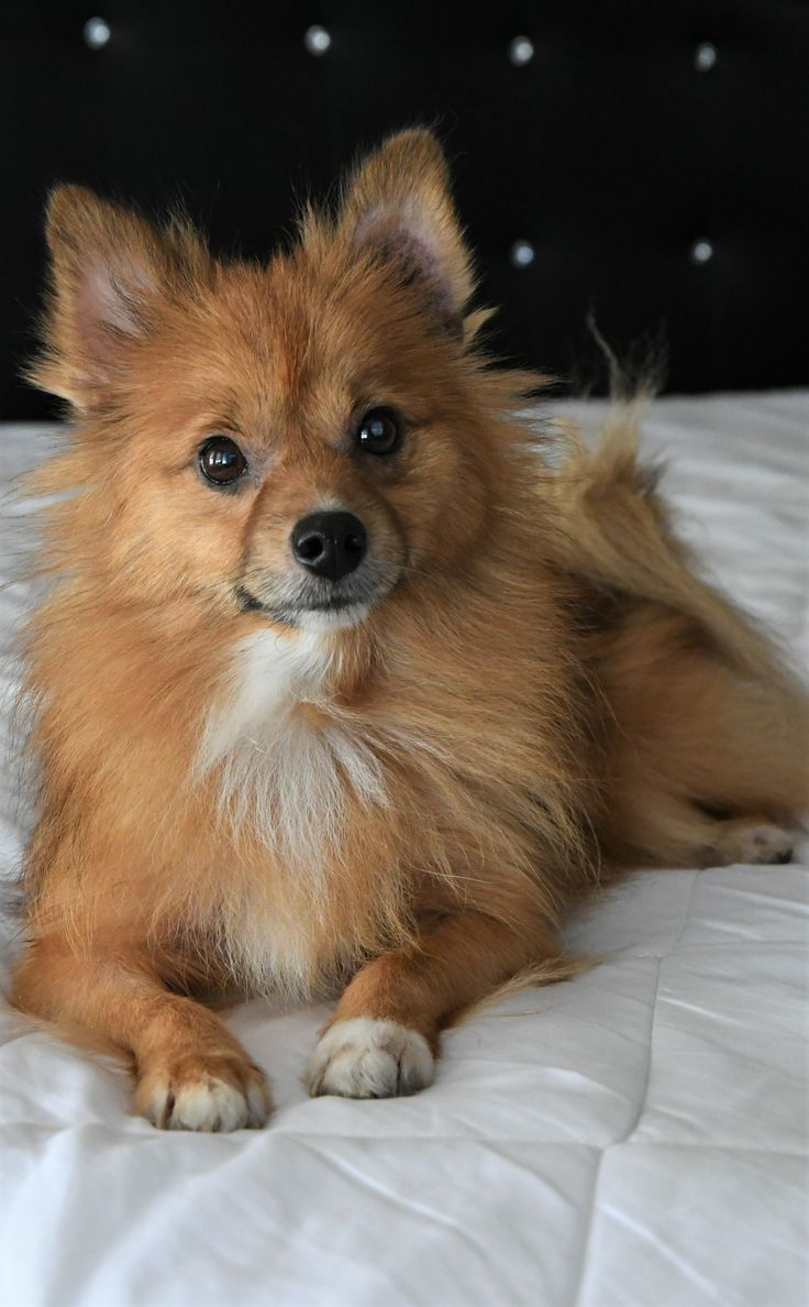 pomeranian puppy michigan 17 best ideas about pomeranian dogs on pinterest 2705