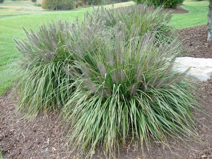 Black flowering fountain grass possible backdrop for for Fountain grass for shade