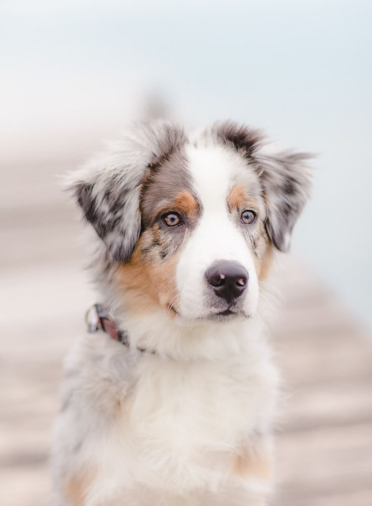 Australian Shepherd.  5 Dog Breeds For The Active Owner - Tap the pin for the most adorable pawtastic fur baby apparel! You'll love the dog clothes and cat clothes! <3