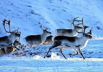 Caribou migration is the longest in the world :)