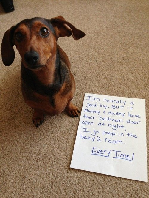 Dachshund shaming. | Dachshund Shaming | Pinterest | Dachshund, Dogs and Dog shaming