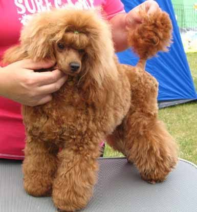 Toy Poodle, Red | For The Love Of Dogs