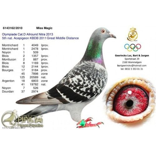 """Képtalálat a következőre: """"baertsoen pigeons"""""""