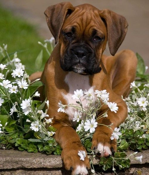 blooming boxerFunny Dogs, Dogs Animal, Boxers Dogs, Boxers Pup, Boxers Forever, Dakota Dogs, Beautiful Boxers, Animal Funny, Bloom Boxers